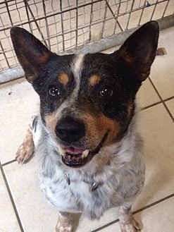 Australian Cattle Dog Mix Dog for adoption in Coudersport, Pennsylvania - JEFF