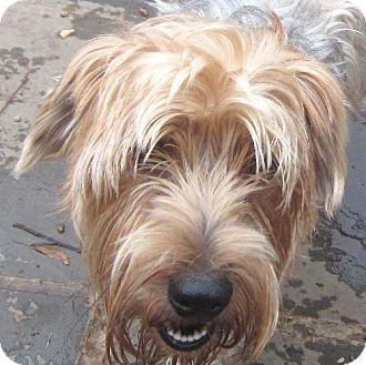Silky Terrier/Yorkie, Yorkshire Terrier Mix Dog for adoption in Santa Fe, Texas - Rufus--Pending