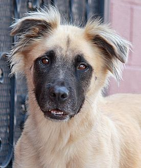 German Shepherd Dog Mix Dog for adoption in Los Angeles, California - Radar von Radibar