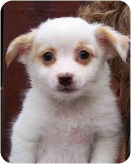 Australian Shepherd/Australian Cattle Dog Mix Puppy for adoption in El Segundo, California - Dorian