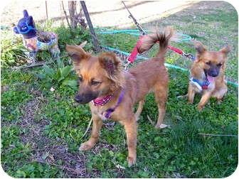 Pomeranian/Chihuahua Mix Dog for adoption in Hesperus, Colorado - HALEY
