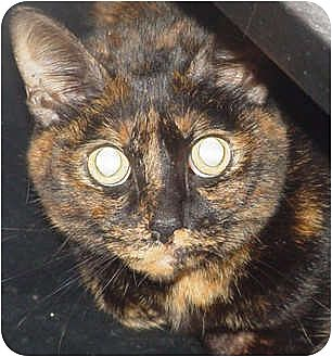 Domestic Shorthair Cat for adoption in Watkinsville, Georgia - Gizmo