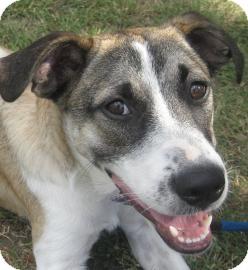 Shepherd (Unknown Type) Mix Dog for adoption in Austin, Texas - Sable