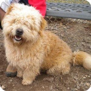 Petit Basset Griffon Vendeen/Terrier (Unknown Type, Medium) Mix Dog for adoption in Athens, Georgia - Bo