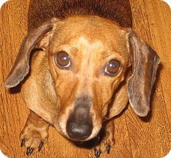 Dachshund Mix Dog for adoption in Gainesville, Florida - Princess