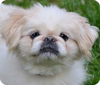 Pekingese Dog for adoption in Staunton, Virginia - Toby
