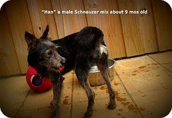 Schnauzer (Standard) Mix Dog for adoption in Gadsden, Alabama - Han
