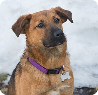 Shepherd (Unknown Type) Mix Dog for adoption in Elmwood Park, New Jersey - Sunny