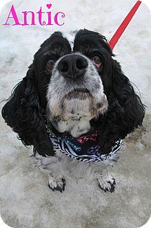 Cocker Spaniel Mix Dog for adoption in Menomonie, Wisconsin - Antic