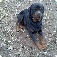 Adopt A Pet :: Harley - latrobe, PA
