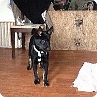 Adopt A Pet :: Midnight - Apex, NC
