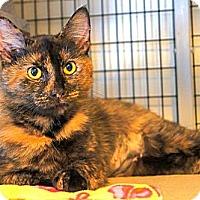 Adopt A Pet :: Foxy - Victor, NY