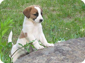 Beagle/Australian Shepherd Mix Puppy for adoption in elizabethtown, New York - jep