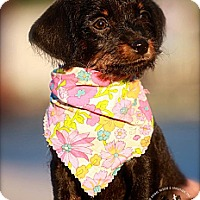Adopt A Pet :: Heidi - Albany, NY