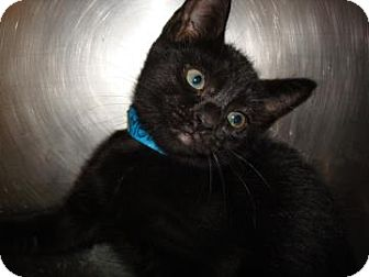 Domestic Shorthair Cat for adoption in Miami, Florida - Mel