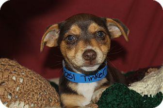 Beagle Mix Puppy for adoption in Waldorf, Maryland - Tinker