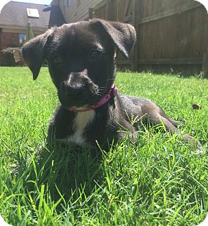 Labrador Retriever Mix Puppy for adoption in Chicago, Illinois - Blythe