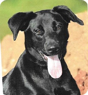 Retriever (Unknown Type) Mix Dog for adoption in Spokane, Washington - Cheeps