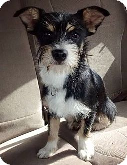 Schnauzer (Miniature) Mix Dog for adoption in Stamford, Connecticut - Doodle