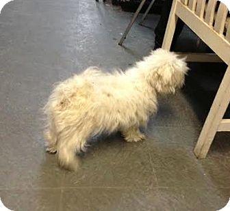 Maltese Dog for adoption in Manhattan, New York - Frenchie
