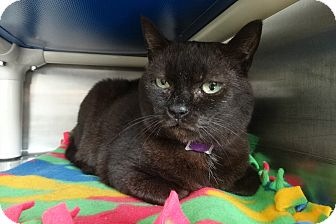 Burmese Cat for adoption in Elyria, Ohio - Lillian