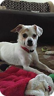 Beagle/Pug Mix Puppy for adoption in Huntington Beach, California - Rufus