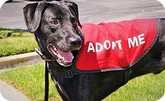 Labrador Retriever/Weimaraner Mix Dog for adoption in Redondo Beach, California - Ace