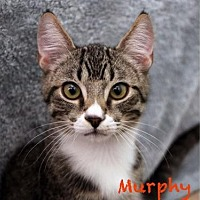 Adopt A Pet :: Murphy - Walnut Creek, CA