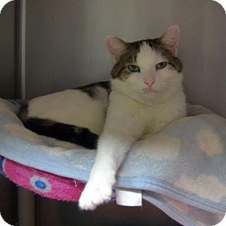 Domestic Shorthair Cat for adoption in Wheaton, Illinois - Oreo