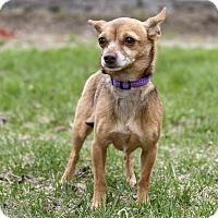 Adopt A Pet :: Tamika - Ile-Perrot, QC