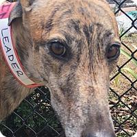 Adopt A Pet :: Slatex Leader - Longwood, FL