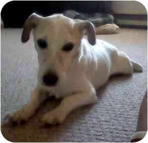 Jack Russell Terrier Dog for adoption in Thomasville, North Carolina - Peanut
