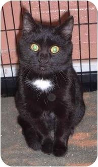 Domestic Shorthair Kitten for adoption in Honesdale, Pennsylvania - Zion