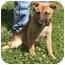 Photo 2 - German Shepherd Dog/Labrador Retriever Mix Puppy for adoption in Baltimore, Maryland - Spencer