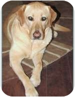 Labrador Retriever Mix Dog for adoption in Torrance, California - Sydney5