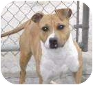 Pit Bull Terrier Mix Dog for adoption in New Kent, Virginia - CC