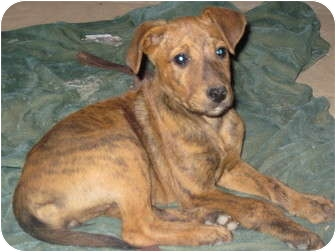 Labrador Retriever/Plott Hound Mix Puppy for adoption in Staunton, Virginia - pretzel