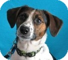 Beagle/Corgi Mix Dog for adoption in Minneapolis, Minnesota - Max