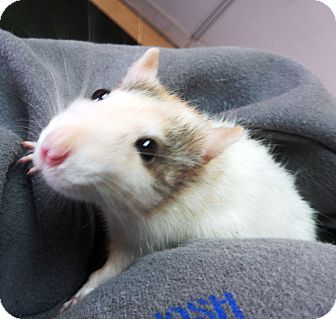 Rat for adoption in Midland, Michigan - Tootsie
