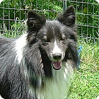 Adopt A Pet :: Joey - Indiana, IN