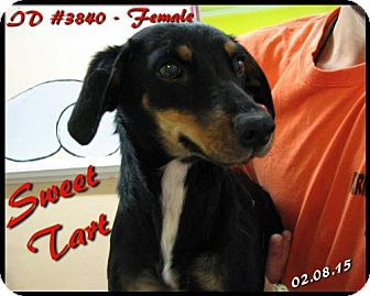 Dachshund Dog for adoption in Corinth, Mississippi - Sweet Tart