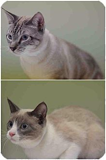 Siamese Cat for adoption in Bronx, New York - Ford