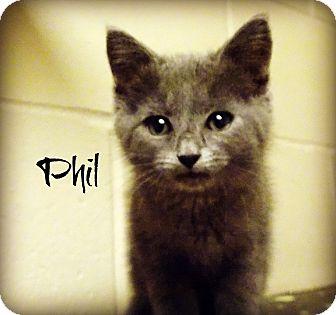 Domestic Shorthair Kitten for adoption in Defiance, Ohio - Phil