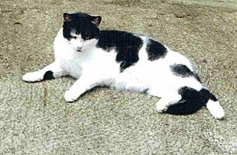 Domestic Shorthair Cat for adoption in Columbus, Ohio - Sheba