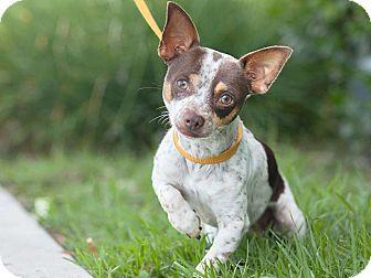 Chihuahua Mix Dog for adoption in Long Beach, California - Josh