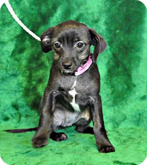 Chihuahua Mix Puppy for adoption in Yreka, California - Siddion