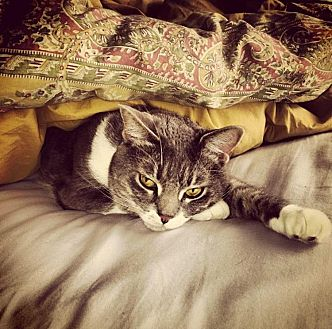 Domestic Shorthair Cat for adoption in Nashville, Tennessee - Jovi