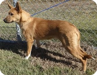 Shepherd (Unknown Type) Mix Puppy for adoption in Olive Branch, Mississippi - Amber