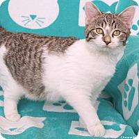 Domestic Shorthair Cat for adoption in St Louis, Missouri - Verdi
