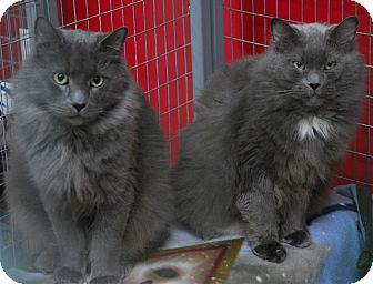 Domestic Mediumhair Cat for adoption in Winchendon, Massachusetts - Louie & Lucy